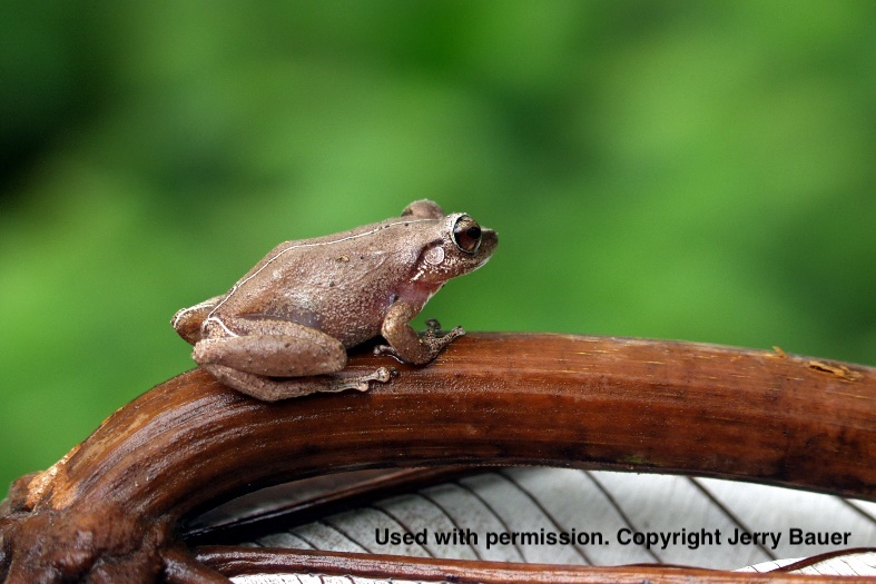 A tiny frog, a bit bigger than the size of an adult's thumbnail, rests on a little brown tree branch in the rainforests of Puerto Rico.